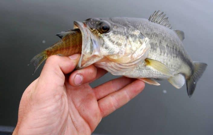 Un petit bass affamé