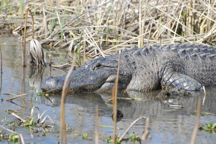 Alligator de la Red River