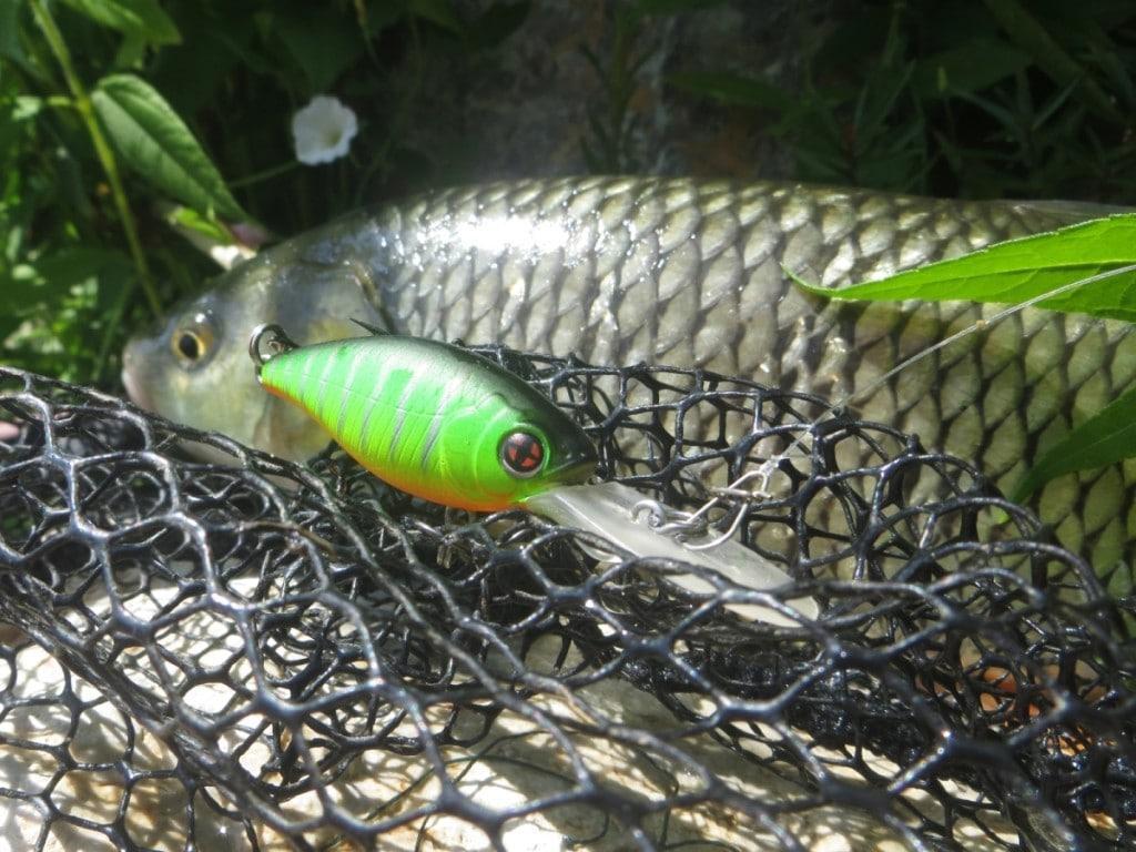 Chubs on golem sakura fishing for Ok google plenty of fish