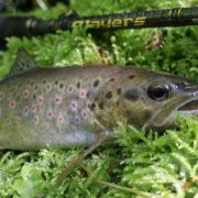 brown trout caught on sakura slit shad ayu 50 by goran