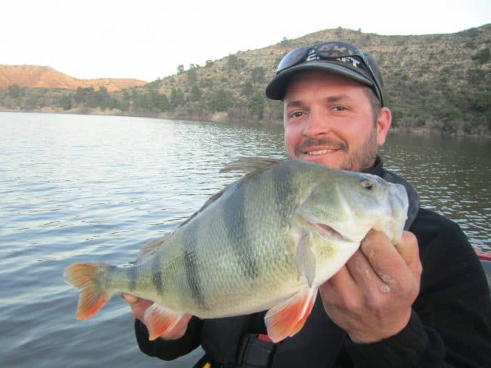 nice perch caught on sakura soukouss blade in mequinenza by loic domergue
