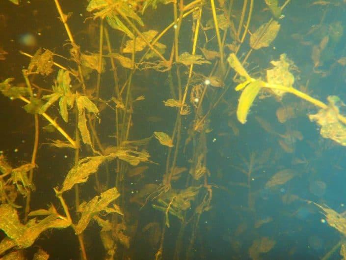 pondweed underwater picture