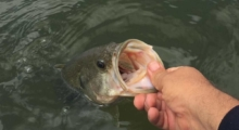 no-kill black bass