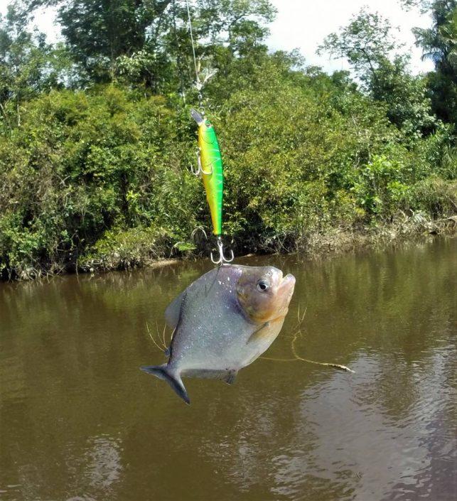 Piranha venu se frotter au Ruty Minnow Sakura