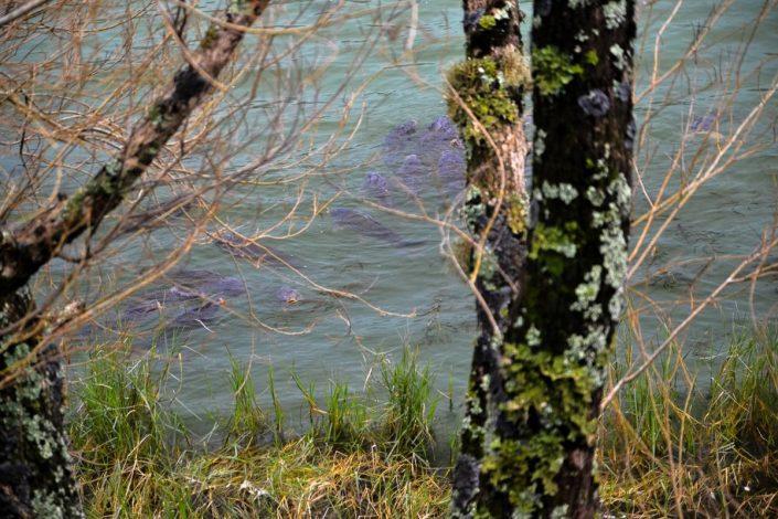 carpes dans un lac des açores
