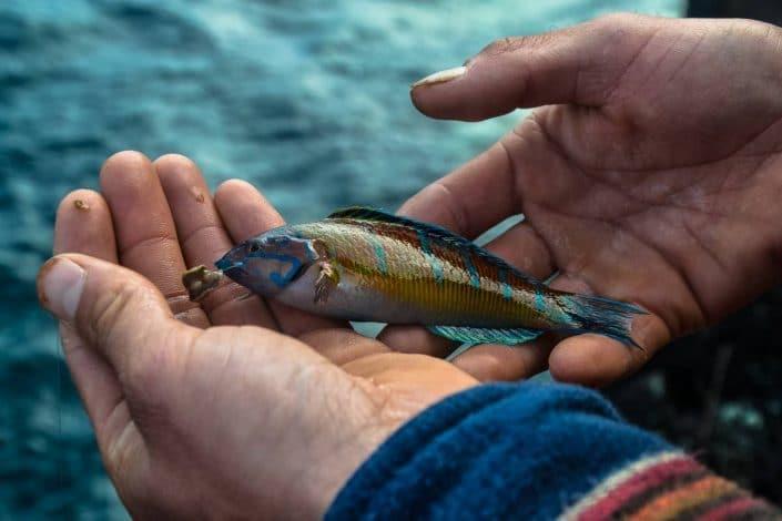 girelle paon pris en iso fishing