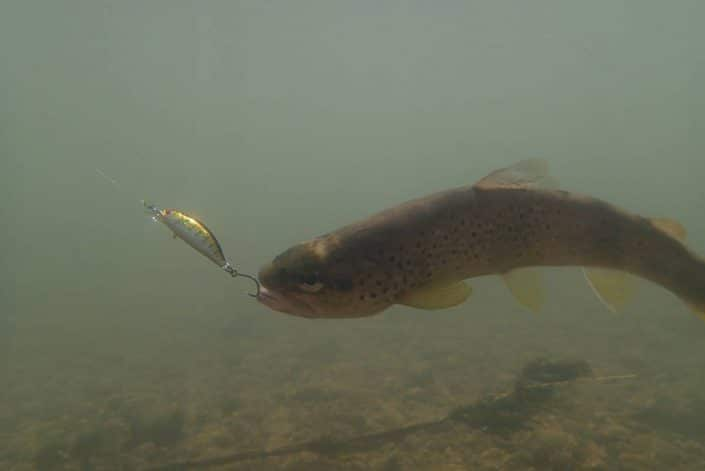 truite du jura prise du bout des levres sur un phoxy minnow hw 50 en coloris T05 natural trout
