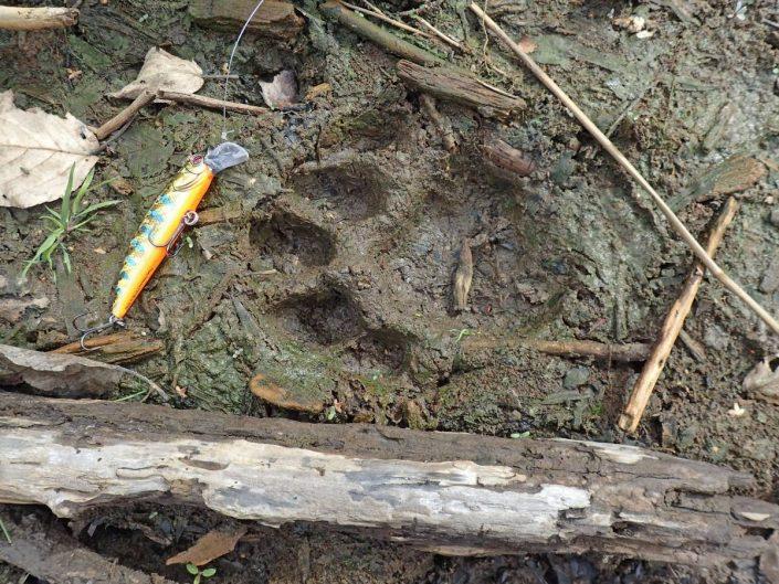 empreinte de tigre sur les berges de la riviere